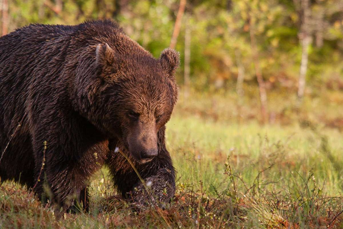 European-brown-bear.jpg